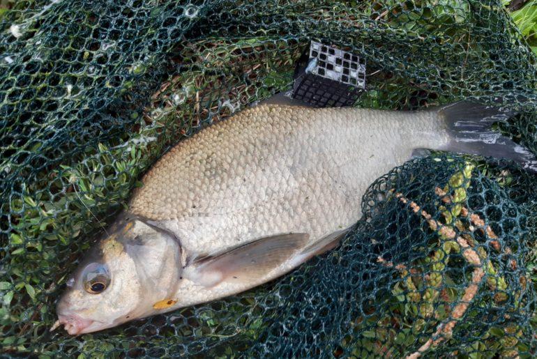 ulovená ryba