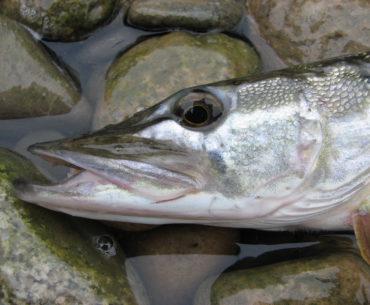 ryba zblízka