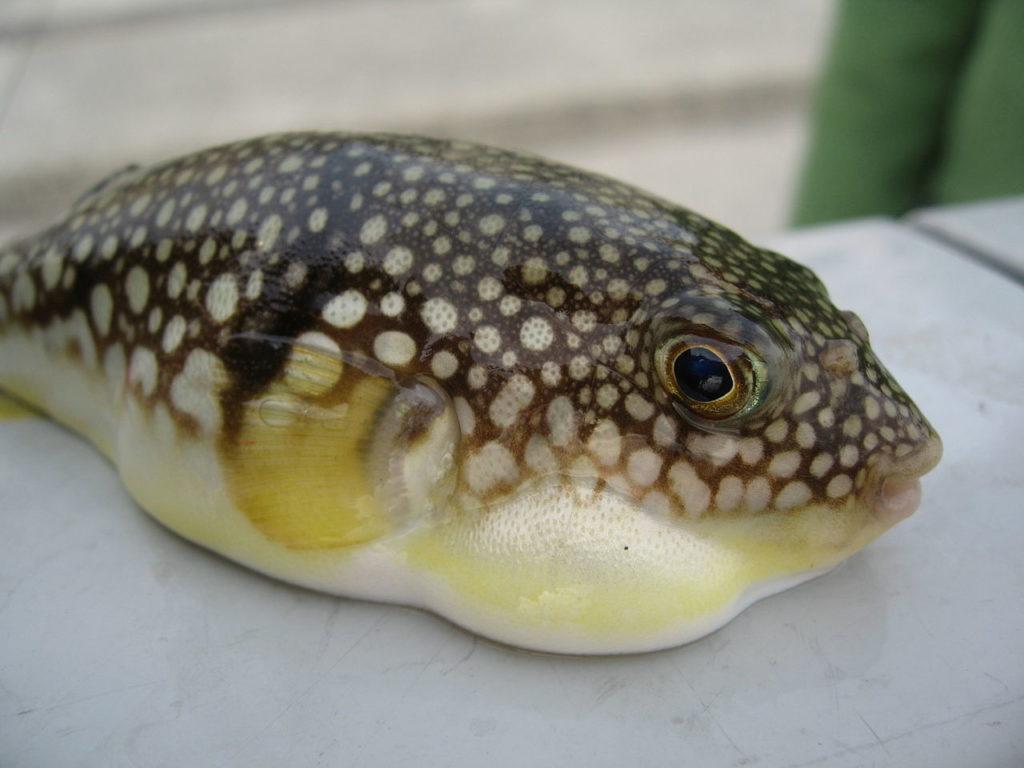 nafouklá ryba