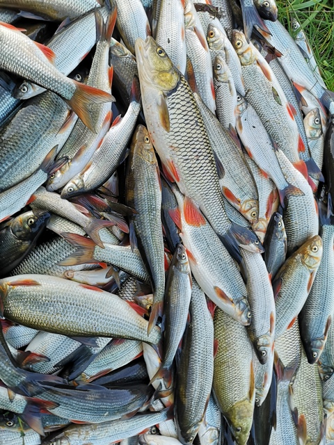 Bečva mrtvé ryby