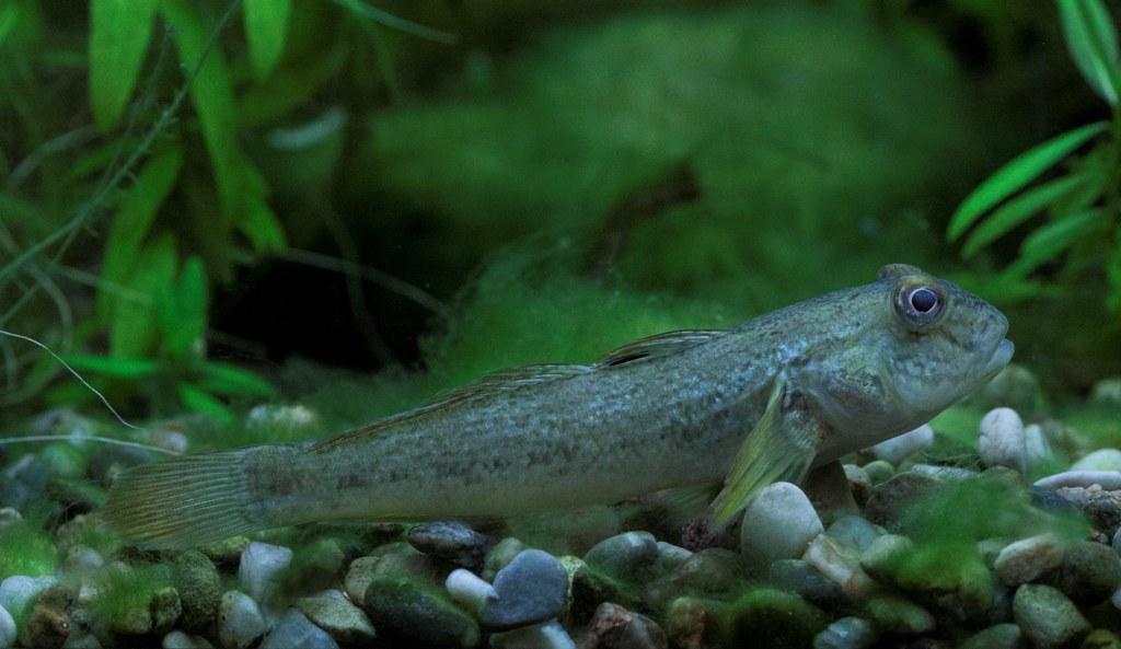 invazivní ryba