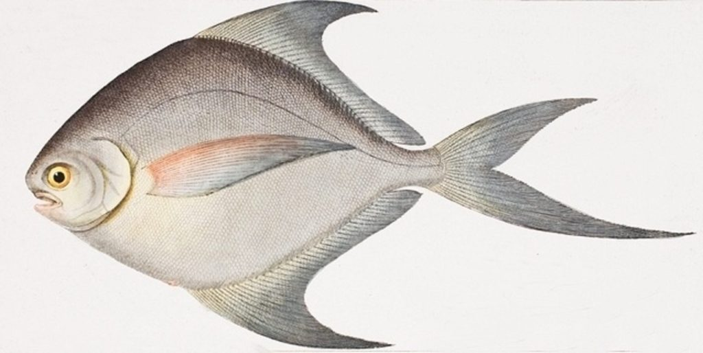 Ryby z čeledi Stromateidae