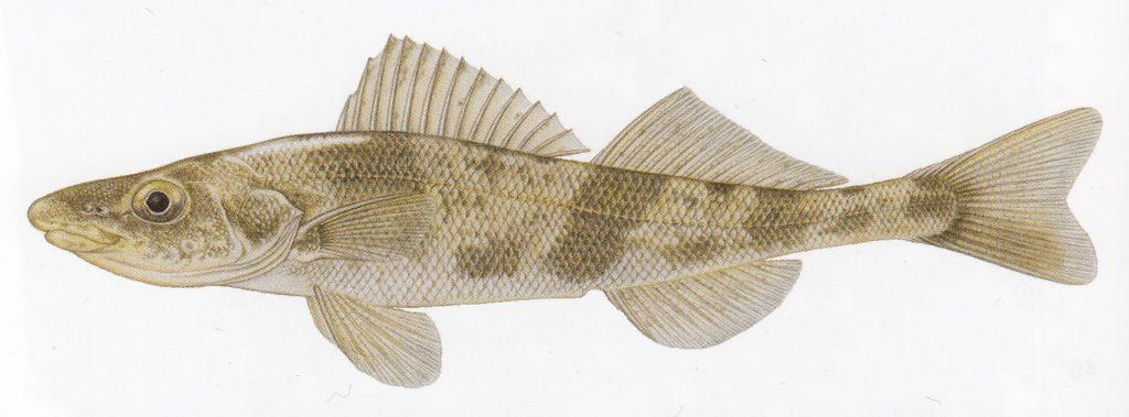 seznam ryb drsek větší