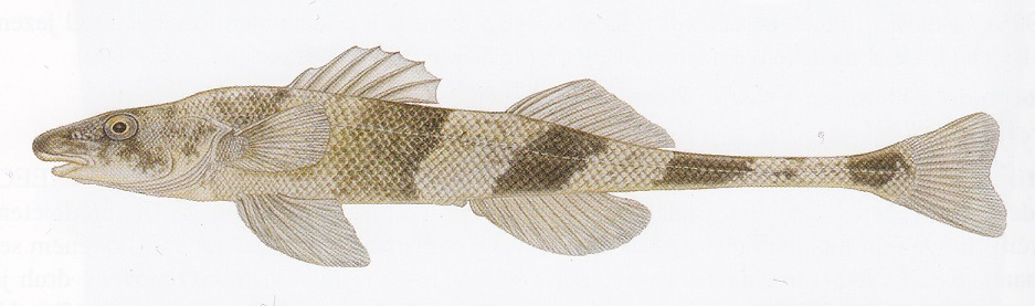 atlas ryb drsek menší