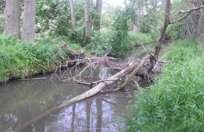 úhoř v řece