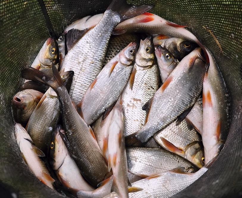 bílá ryba