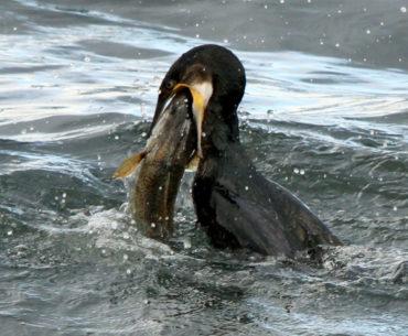 kormorán loví rybu