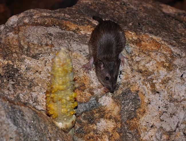 žravý potkan