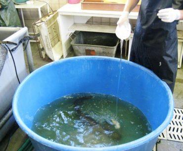ryby v kádi