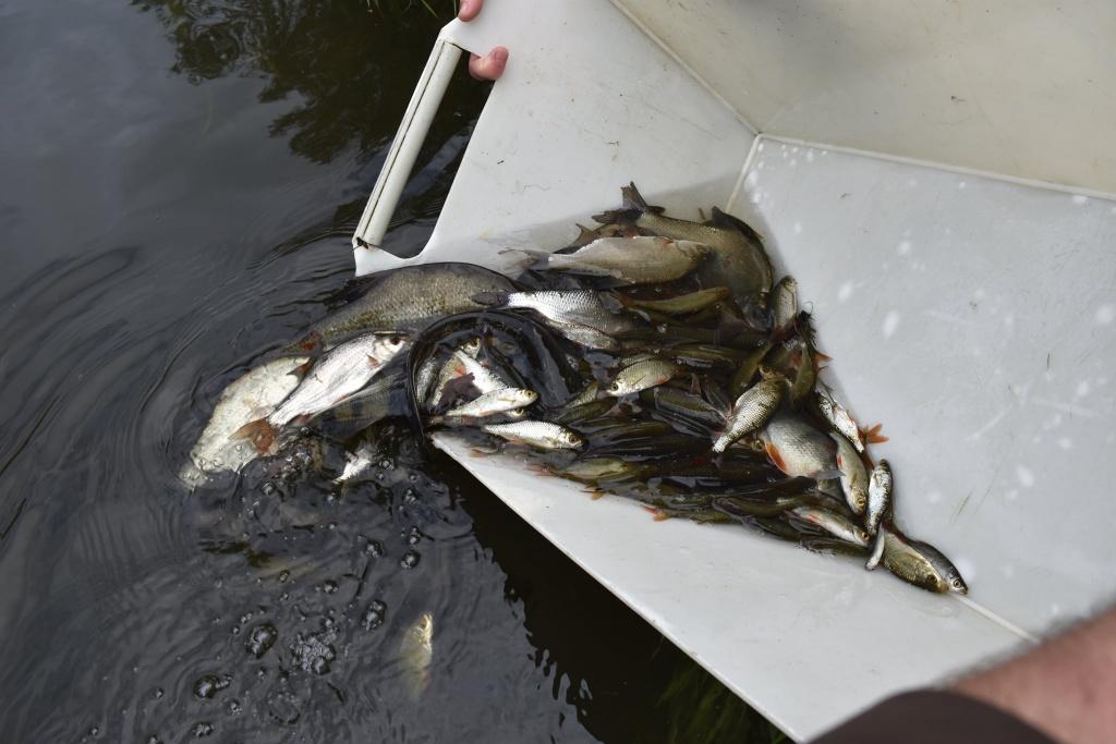 vysazování ryb
