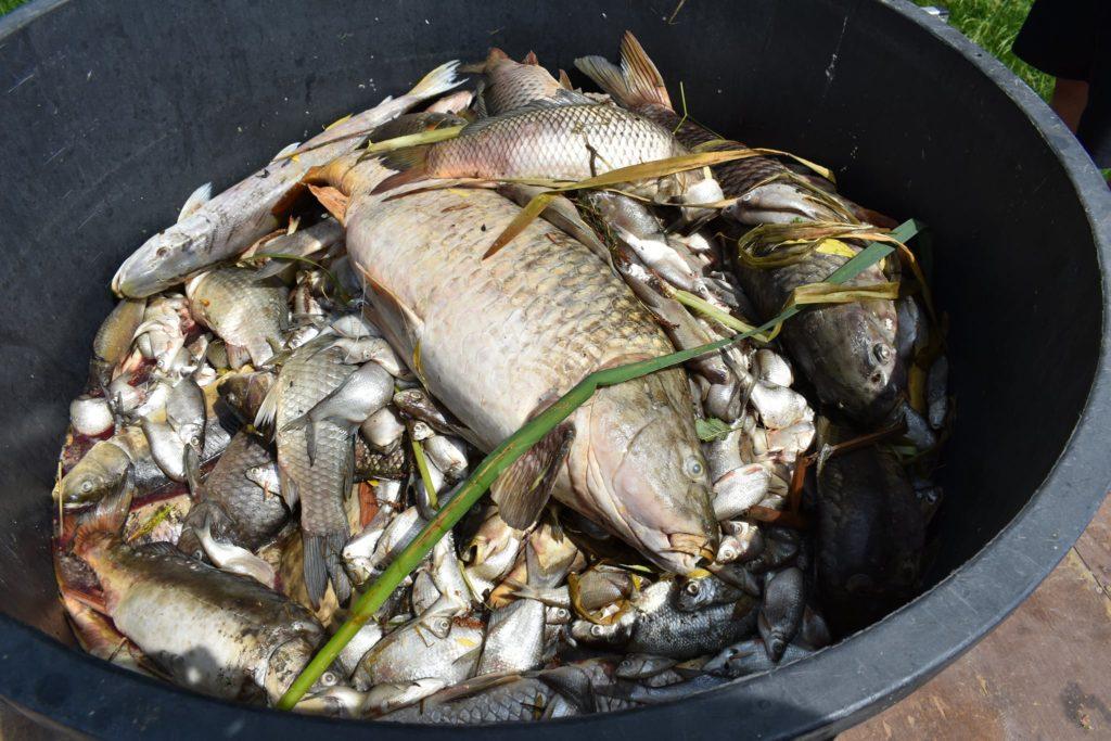 kadáver mrtvé ryby