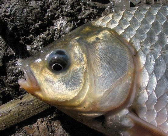 invazivní ryby