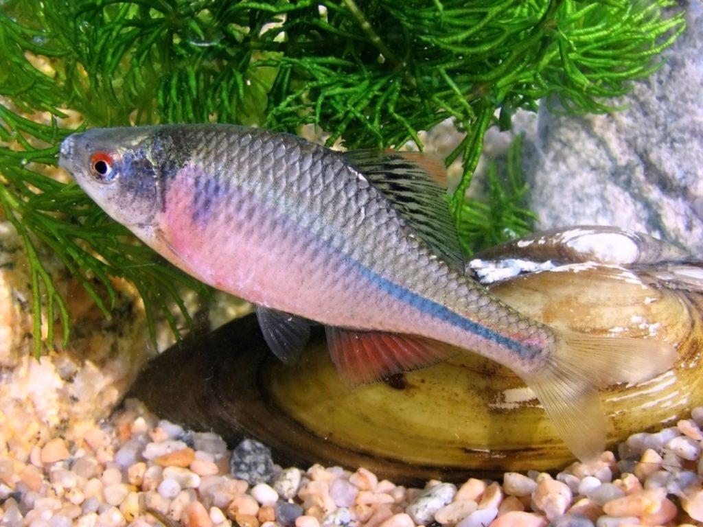 pestrá ryba